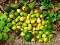 Foraged Tropical Fruits