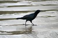Crow Walking on Wet Sand
