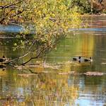 """Ducks on Wampum Lake in Autumn Colors"" by catnip009"