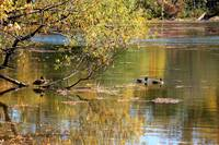 Ducks on Wampum Lake in Autumn Colors