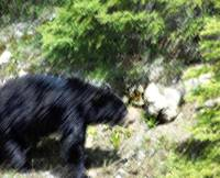 Black Bear Rocky Mountains