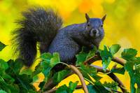 Mr Eastern Grey Squirrel in the Fall Colours