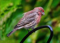 Mr Male House Finch