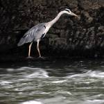 """Suir River Heron"" by JMcCoubreyPhotography"