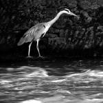 """Grey Heron in Black and White"" by JMcCoubreyPhotography"