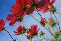 Red Cosmos in Brisk Weather