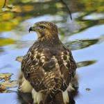 """""""Immature Red Tail"""" by courtbass"""
