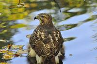 Immature Red Tail
