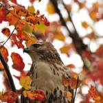 """""""Red Tailed Hawk"""" by courtbass"""