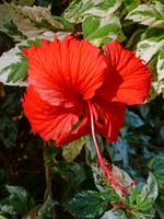 Varigated Red Hibiscus