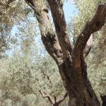 """Garden of Gethsemane"" by CraigWilson"