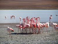 flamingos group