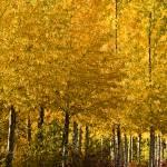 """Golden Aspens"" by boppintheblues"