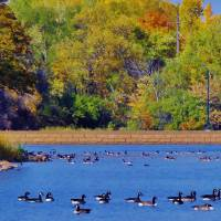 Geese/Ducks Art Prints & Posters by Ashley Gordon