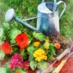 """Zinnias and Watering Can"" by susansartgallery"
