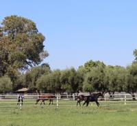 Yearlings at Pasture