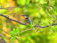 Kingfisher In Nature