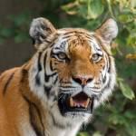"""""""Tiger"""" by Saylesnm"""
