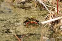 Algae Covered Painted Turtle