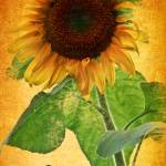 """Sunflower Sunset"" by PhotographsByCarolFAustin"