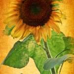 """Sunflower Sunset"" by PhotographsByCarolFAustin"