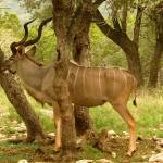 """Kudu Blending In"" by TealWingPhotography"