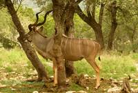 Kudu Blending In