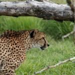 """Stalking Cheetah"" by Saylesnm"