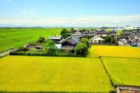 Japans Yellow Fields of Rice