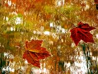 Rainy Autumn Leaves