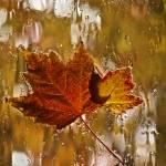 """Window Maple Leaves"" by raetucker"