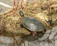 Painted Turtle Reflected in the Water