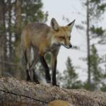 """""""Foxy"""" by theknifesmith"""