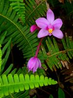 Hawaiian Orchid