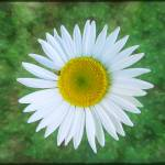 """Single Daisy"" by GiorgettaMcRee"
