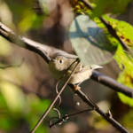 """Ruby-crowned Kinglet"" by WildAboutNaturePhotography"