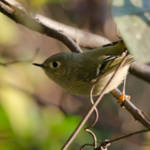 """""""Ruby-crowned Kinglet"""" by WildAboutNaturePhotography"""
