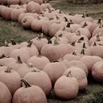 """Pumpkins"" by WildAboutNaturePhotography"