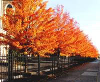Row of trees with fiery Autumn leaves