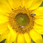 """Carolina Sunflower"" by adifferenteyephotography"