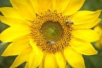 Carolina Sunflower