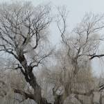 """""""Iced Willow"""" by donjo"""