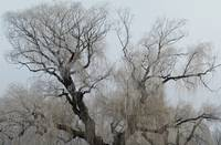 Iced Willow