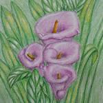 """""""Pink Calla Lilies"""" by thuraya"""