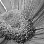 """Greyscale Gerbera."" by VAWPhotography"