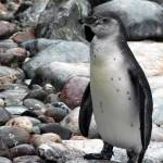 """Rocky Penguin"" by VAWPhotography"