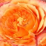 """Orange*RomanceRose"" by DreamingIsaac"