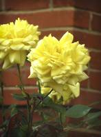 Yellow*Rose
