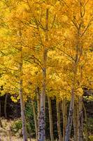 Aspen Gold Portrait