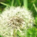 """My*Lil*Dandelion"" by DreamingIsaac"